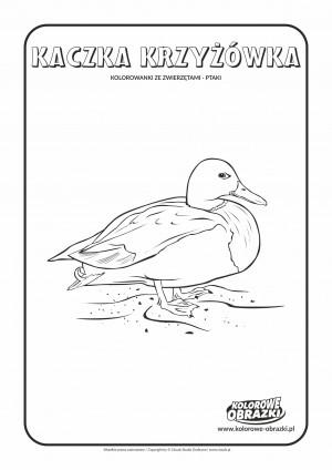 Kolorowanki dla dzieci - Zwierzęta / Kaczka krzyżówka. Kolorowanka z kaczką krzyżówką